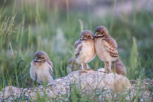 USA, Wyoming, Sublette County, Burrowing Owl chicks stand at the burrow entrance