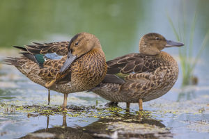 USA, Wyoming, Sublette County, two Cinnamon Teal young stand in a wetland with one