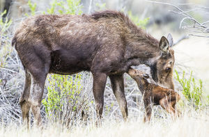 USA, Wyoming, Sublette County, a cow moose licks her newborn calf