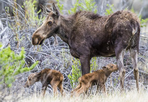 USA, Wyoming, Sublette County, a cow moose stands by her twin newborn calves