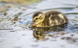 USA, Wyoming, Sublette County, a duckling swims amongst the duckweed