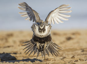 USA, Wyoming, Sublette County, a Greater Sage Grouse lands on a lek in March