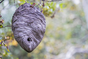 USA, Wyoming, Sublette County, a hornet's nest hangs from a tree in the autumn