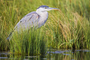USA, Wyoming, Sublette County, a juvenile Great Blue Heron forages for food