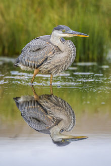 USA, Wyoming, Sublette County, a juvenile Great Blue Heron forages for food in a