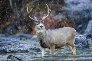 USA, Wyoming, Sublette County, a Mule Deer buck crosses a river during a snowstorm