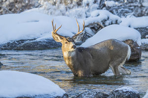USA, Wyoming, Sublette County, A mule deer buck crosses Pine Creek as it migrates