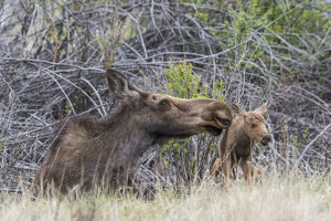 USA, Wyoming, Sublette County, a newborn moose calf tries to stand with it's