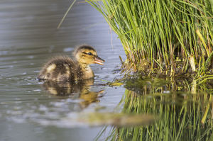 USA, Wyoming, Sublette County, a newly hatched Cinnamon Teal duckling swims on a pond