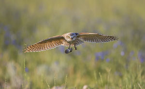 USA, Wyoming, Sublette County, Pinedale, A Burrowing Owl flies into it's burrow