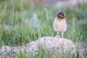 USA, Wyoming, Sublette County, Pinedale, a Burrowing Owl chick stands at it's