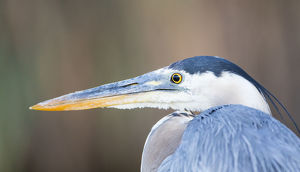 USA, Wyoming, Sublette County, Pinedale, Great Blue Heron portrait taken in July