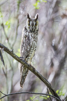 USA, Wyoming, Sublette County, Pinedale, A Male Long-eared Owl roosts in an aspen