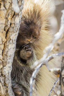 USA, Wyoming, Sublette County, a Porcupine peers from the trunk of a cottonwood tree