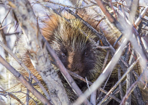 USA, Wyoming, Sublette County, a porcupine sits in a willow tree in February