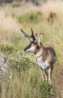 USA, Wyoming, Sublette County, a Pronghorn male stops in the fall grasses