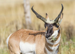 USA, Wyoming, Sublette County, a Pronghorn male eating forbes