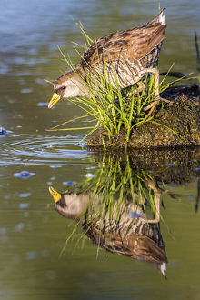 USA, Wyoming, Sublette County, a Sora forages for food in a pond which creates a