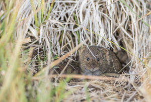 USA, Wyoming, Sublette County, a vole peers from it's hole in the ground