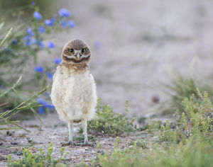 USA, Wyoming, Sublette County, a young Burrowing Owl standing with a floral background