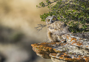 USA, Wyoming, Sublette County, a young Great Horned Owl sits on a lichen covered ledge