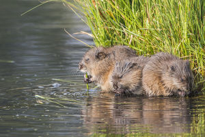 USA, Wyoming, Sublette County, three young muskrats feed on sedges in a pond