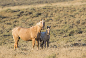 USA, Wyoming, Sweetwater County, Red Desert, a Palamino mare and her foal