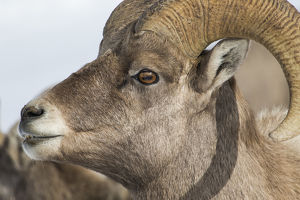 USA, Wyoming, Teton County, National Elk Refuge, Bighorn sheep ram portrait