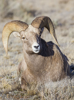 USA, Wyoming, Teton County, National Elk Refuge, Bighorn sheep ram lying down