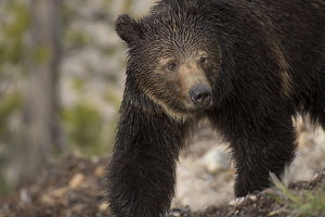USA, Wyoming, Yellowstone National Park. Close-up of grizzly bear