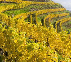 The vineyards near village Spitz in the Wachau