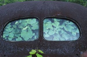 Vintage Oldsmobile car in decay with vines growing in and around it