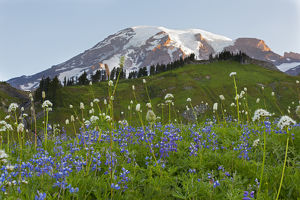 WA, Mount Rainier National Park, Mount Rainier and Wildflowers