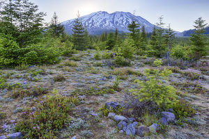 WA, Mount Saint Helens National Volcanic Monument, Wildflowers and mountain; view