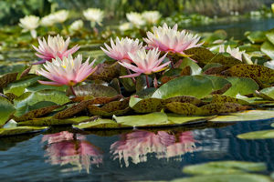 Water Lily and lilypads, Como Park Zoo and Conservatory, Minneapolis, Minnesota