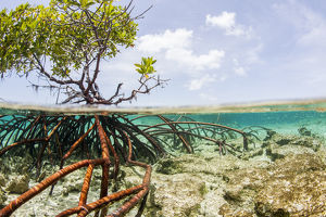 Over and under water photograph of a mangrove tree in clear tropical waters with