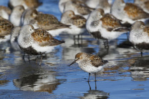 Western Sandpiper among resting dunlins and sandpipers