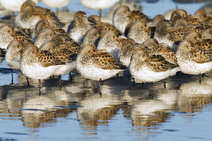 Western Sandpipers, resting during migration