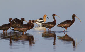 White-faced Ibis's wade past American Avocets