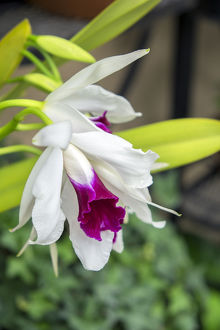 White orchid, USA