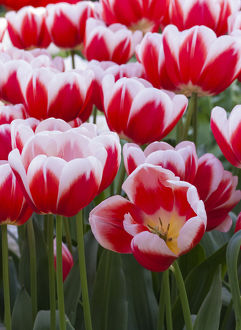 White rimmed red tulips