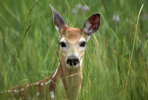 White-tailed deer (Odocoileuis virginianus), fawn in tall grass, National Bison Range