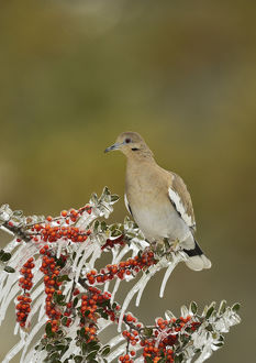 White-winged Dove (Zenaida asiatica), adult perched on icy branch of Yaupon Holly