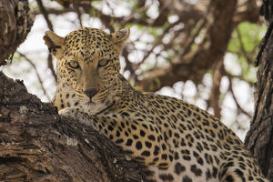 Wild leopard resting in tree in eastern Etosha National Park, Namibia, Africa