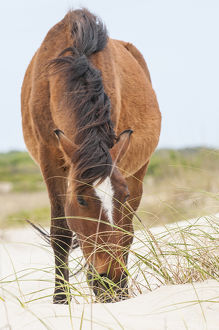 Wild mustangs or banker horses (Equus ferus caballus) in Currituck National Wildlife