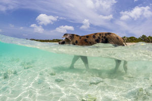 A wild pig walks in the clear blue waters off Big Major's Cay near Staniel Cay
