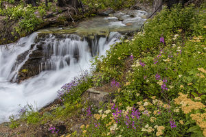 Wildflowers along Baring Creek in Glacier National Park, Montana, USA