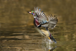 Wood Duck (Aix sponsa) male takeoff from river