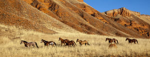 Wyoming, Shell, Horses Running, PR