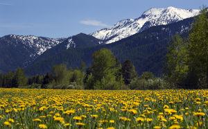 Yellow Flower Farm in front of Snow Mountain Near Glacier National Park Montana
